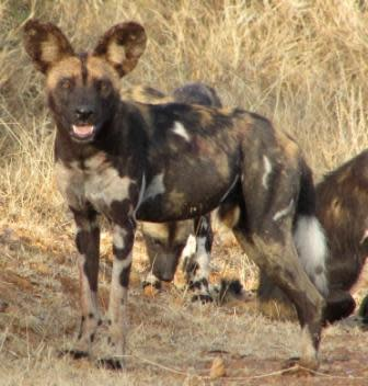 African painted dog (Lycaon pictus). Photo by Alex Hoyle