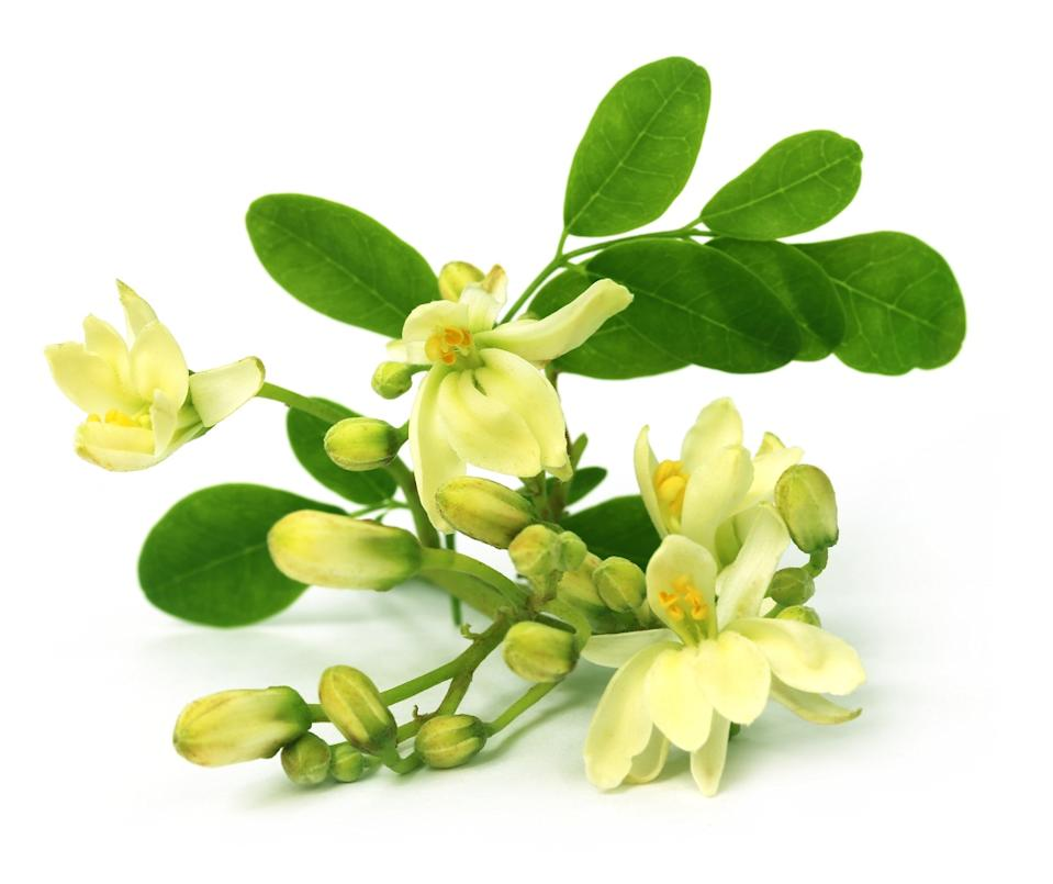The flowers of Moringa are used to make tea with hypocholesterolemic (low cholesterol) properties