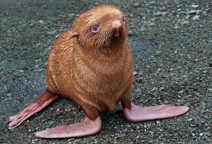 """A rare albino seal pup with ginger-colored fur was abandoned by the colony in Tyuleniy Island, Russia. He was hiding beneath logs when the photographer spotted him. """"The poor seal is almost blind and so was unlikely to survive in the wild,"""" said the photographer, who was with staff from a dolphinarium who took it into their care. (Photo: Caters)"""