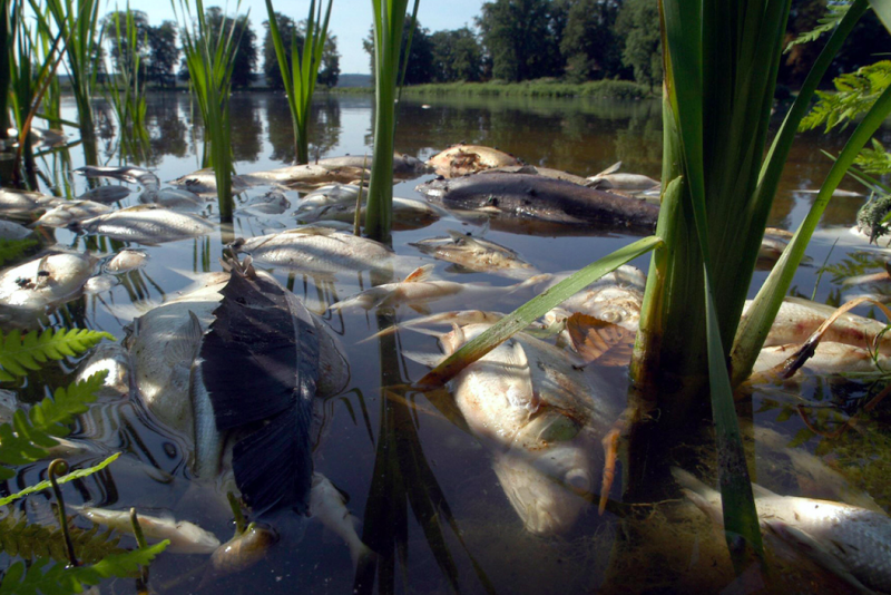 Dead fish float in a lake near Petzow castle 12 August 2003, after succumbing to the unbearable heat (Getty)