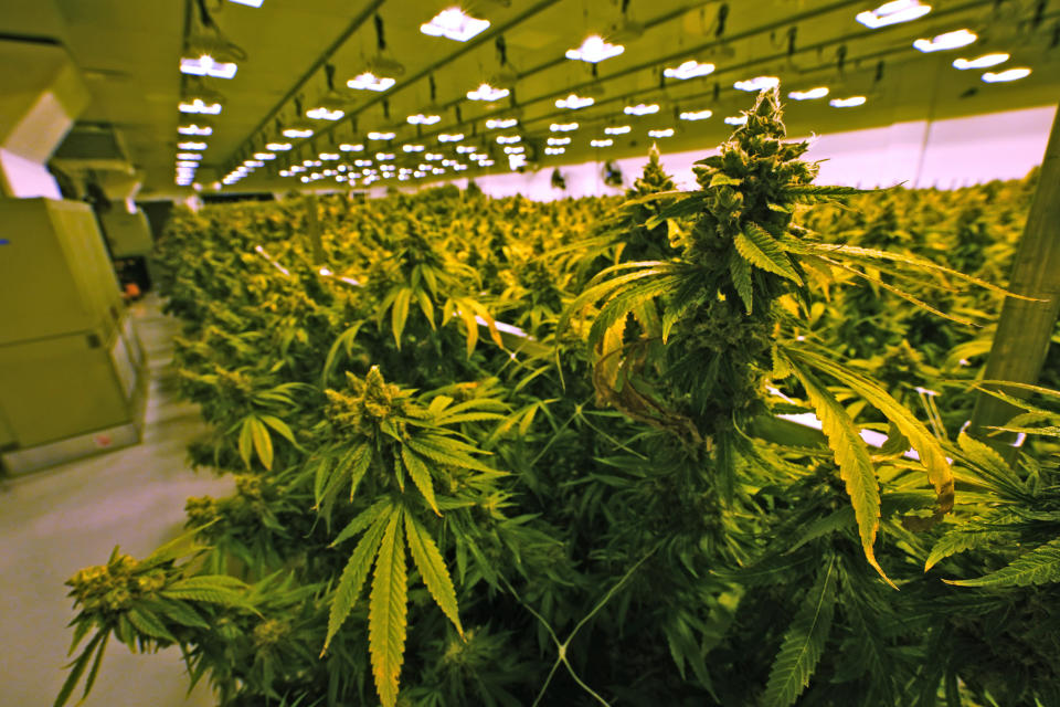 A cannibis plant that is close to harvest grows in a grow room at the Greenleaf Medical Cannabis facility in Richmond, Va., Thursday, June 17, 2021. The date for legalizing marijuana possession is drawing near in Virginia, and advocacy groups have been flooded with calls from people trying to understand exactly what becomes legal in July. (AP Photo/Steve Helber)