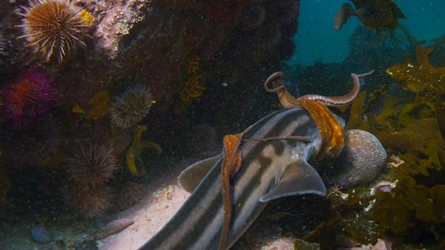 A common octopus fights off an attack by a pyjama shark in <em>Blue Planet II</em>. (Photo: BBC 2017)