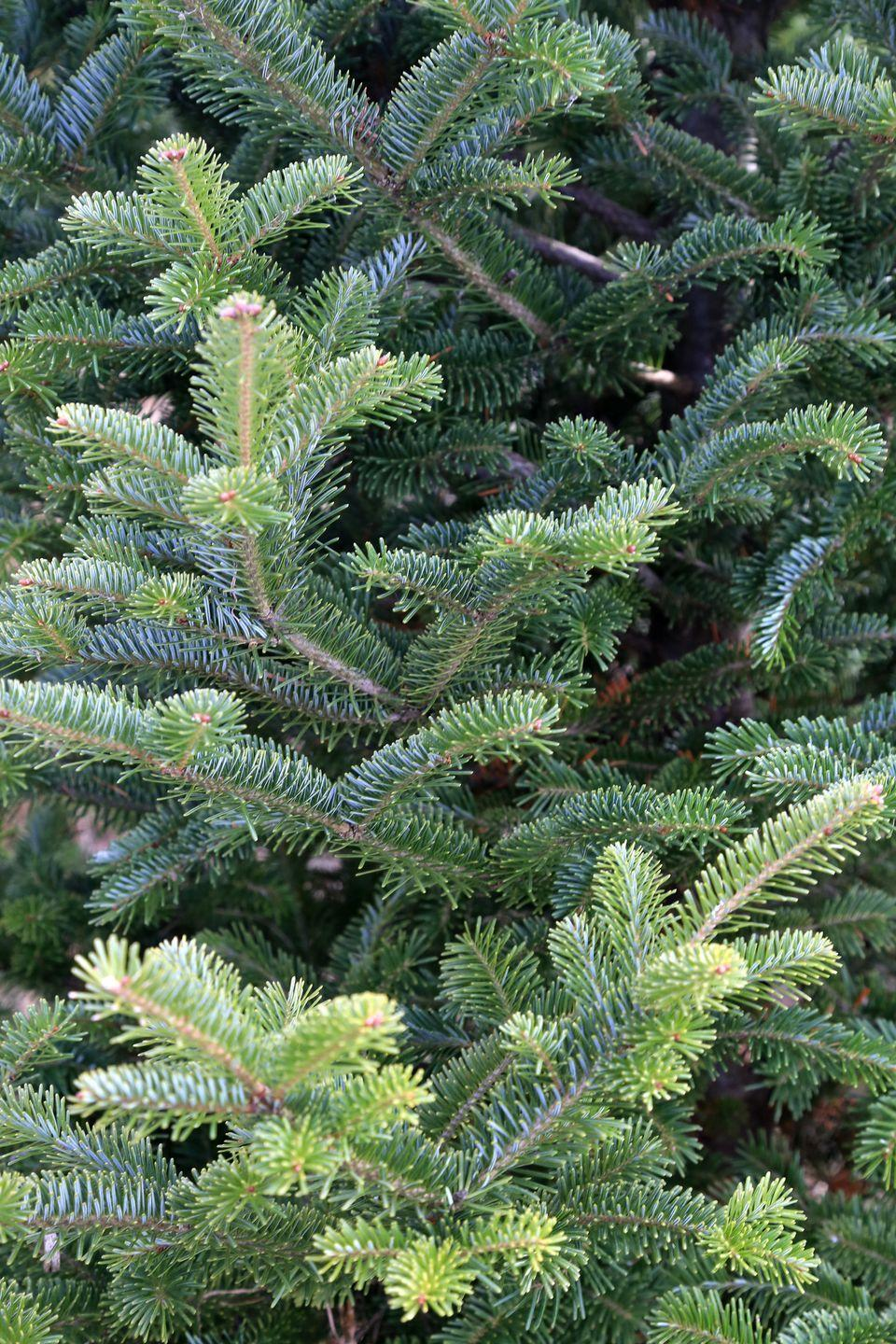 "<p>Canaan Firs are often described as being very <a href=""https://www.canr.msu.edu/news/choosing_the_right_christmas_tree#canaan"" rel=""nofollow noopener"" target=""_blank"" data-ylk=""slk:similar to the Balsam Fir"" class=""link rapid-noclick-resp"">similar to the Balsam Fir</a>, MSU reports, but with the added needle retention of the Fraser Fir. ""It is a relative 'new kid on the block' in comparison to other Christmas tree species,"" Radin says. ""<strong>It has a dense pyramidal shape like Fraser and balsam fir,</strong> and its needles tend to curve upward.""</p>"