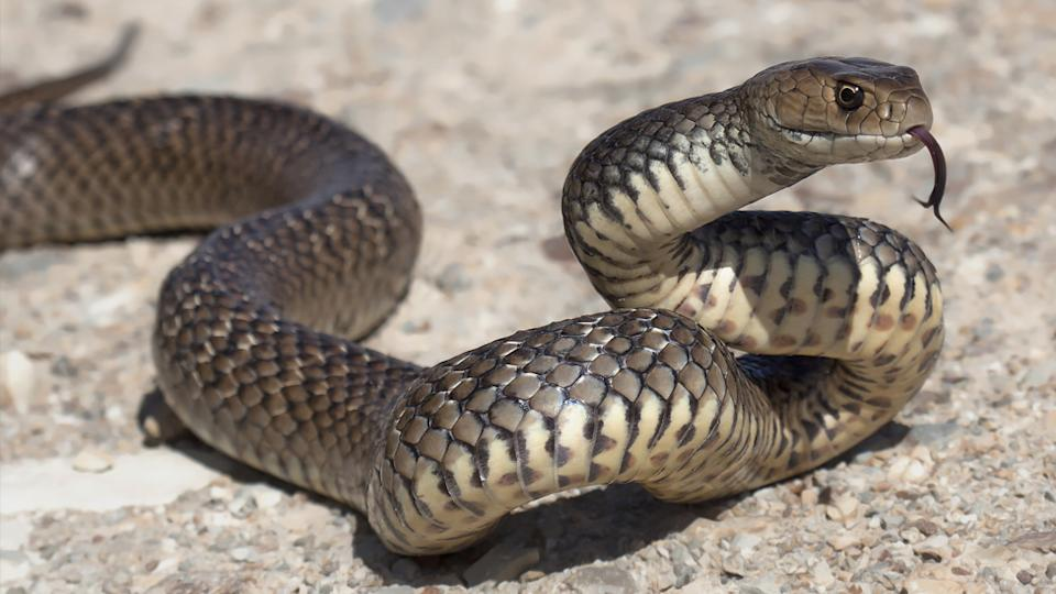 the second most venomous snake in the world, a eastern brown snake