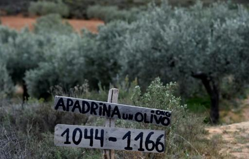 Of roughly 100,000 centuries-old olive trees abandoned in the Oliete area, more than 7,000 have been revived by the adoption project launched four years ago. Here the project's website is advertised by an abandoned grove