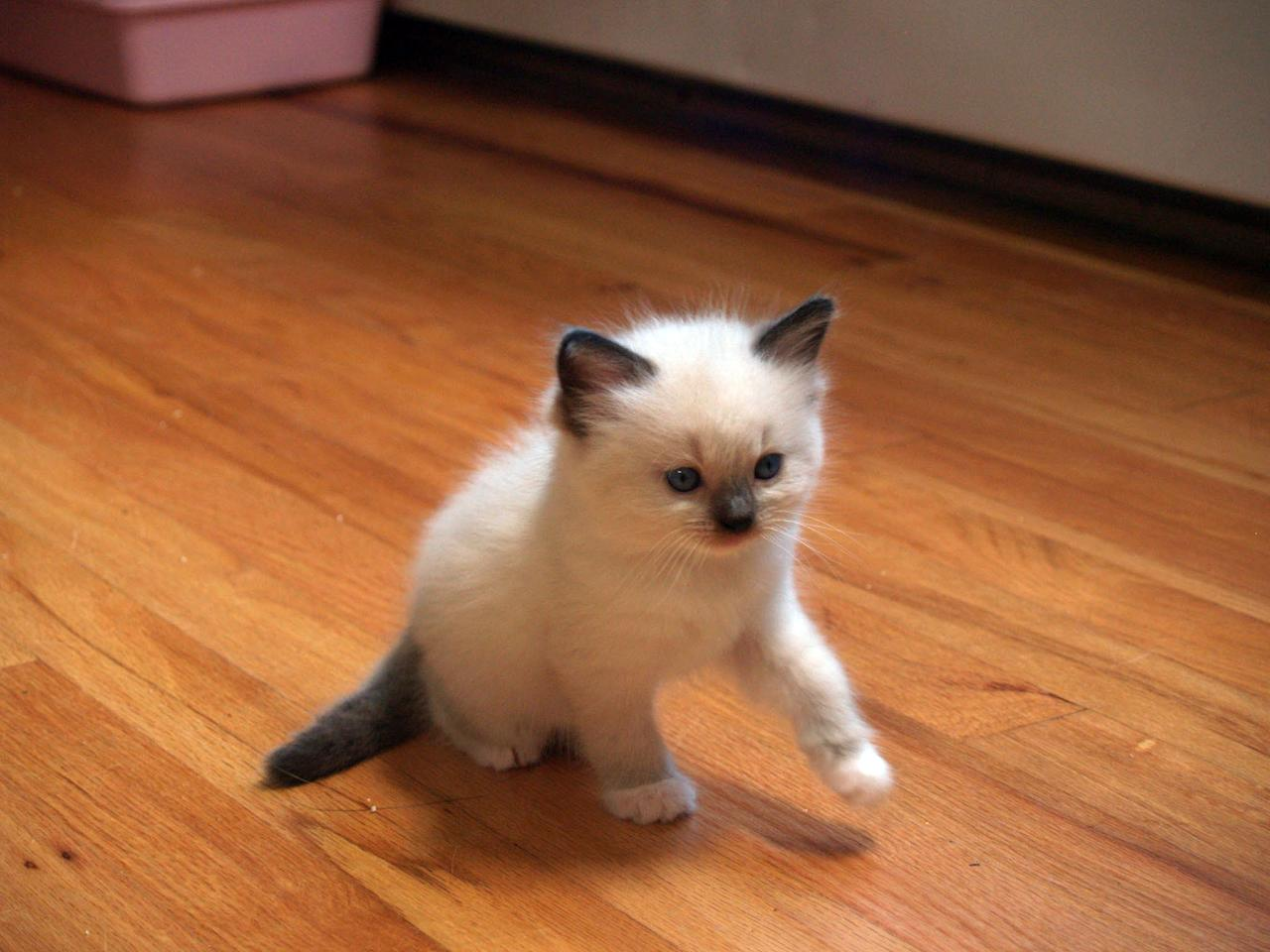 """A Ragdoll kitten featured on Animal Planet's """"Too Cute! Kittens."""""""