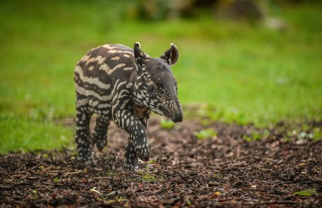 Adorable baby tapir born at Chester Zoo