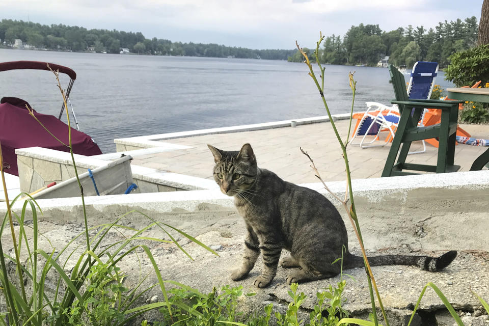 In this July 27, 2018 photo provided by Daryl Abbas, Arrow, a cat whose death has inspired legislation to put cats on equal footing with dogs, at least when they are run over, sits in Salem, N.H. Arrow's owner, New Hampshire State Rep. Daryl Abbas, is the sponsor of a bill that would require drivers who injure or kill cats to notify police or the animals' owners. The reporting requirement already is in place for dogs. (Daryl Abbas via AP)