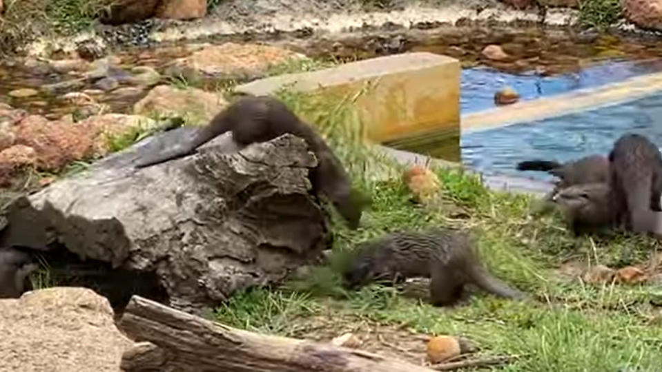 A flock of otters playing with a bamboo branch