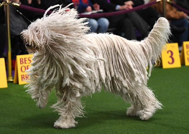 A Komondor in the judging ring during Day Two of the Westminster Kennel Club 142nd Annual Dog Show (AFP Photo/TIMOTHY A. CLARY)