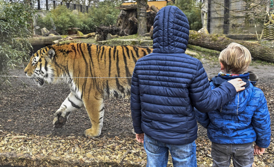 Boys watching a tiger at the reopened zoo in Muenster, Germany, Monday, March 8, 2021. Zoos are allowed to open today after 18 weeks of lockdown due to the coronavirus pandemic. (AP Photo/Martin Meissner)