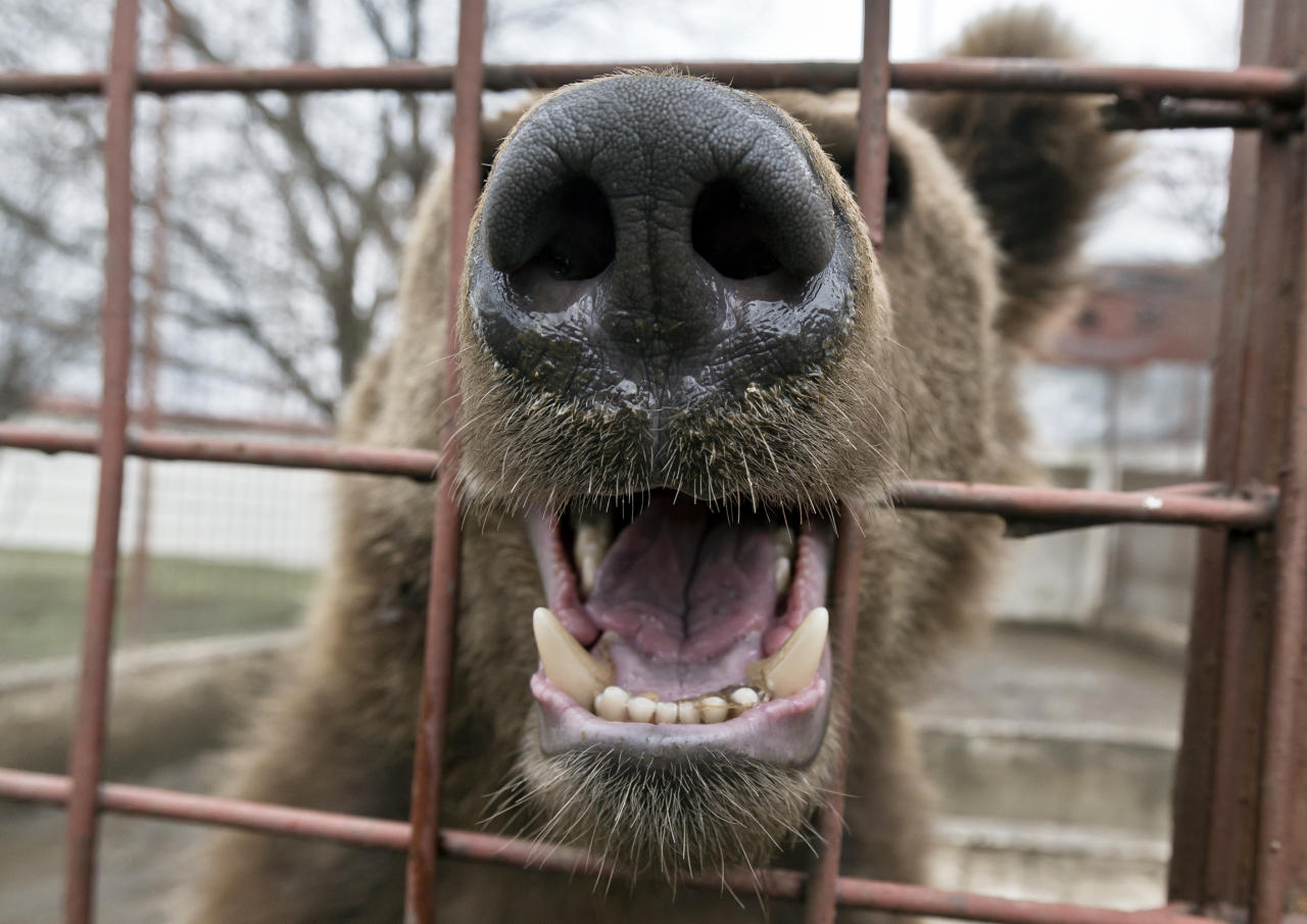 A bear chews the bars of a cage at the estate of Ion Balint, known to Romanians as Nutzu the Pawnbroker, a notorious gangster, in Bucharest, Romania, Wednesday, Feb. 27, 2013. Authorities along with specialists of the animal welfare charity Vier Pfoten removed four lions and two bears that were illegally kept on the estate of one of Romaniaís most notorious underworld figures who reportedly used them to threaten his victims. Balint was arrested on Feb. 22, with dozens of others on charges of attempted murder, depriving people of their freedom, blackmail and illegally holding arms.(AP Photo/Vadim Ghirda)