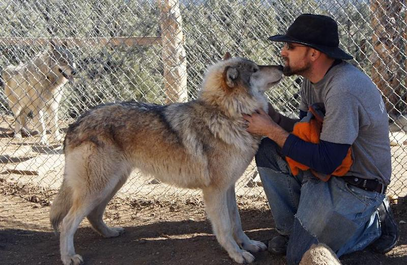This Jan. 1, 2012 photo shows center co-founder, Mathew Sinmans, with two of of 29 rescued wolf dogs at The Lockwood Animal Rescue Center in Lockwood, Calif. It's been three months since this California animal rescue center retrieved 29 wolf-dogs from an Alaska tourist attraction that had fought the state over owning, breeding and selling the wolf-hybrids. Chains were so deeply embedded in the necks of two of the animals that they had to be surgically removed.The task of taming the wolf-dogs has been given to a couple of U.S. military veterans who say they can relate to the stress of trying to transition to a normal life. (AP Photo/Nick Ut)
