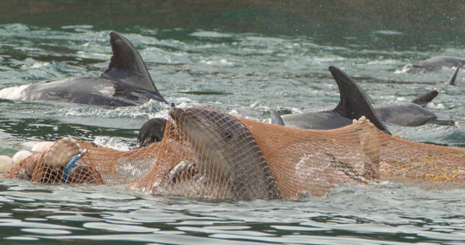Dolphins caught in nets.