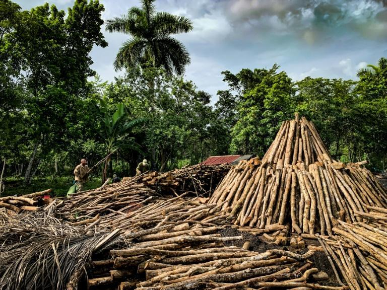 Wood is stacked into tall pyramids, then covered in straw and soil for the combustion process which takes five or six days to produce charcoal