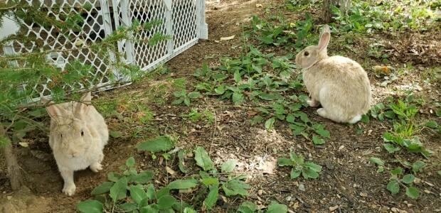 Dozens of rabbits have made their home on and around Pleasant Street in Bridgewater, N.S., for years. These two are called Peter and Petra. (Erika Benvie - image credit)