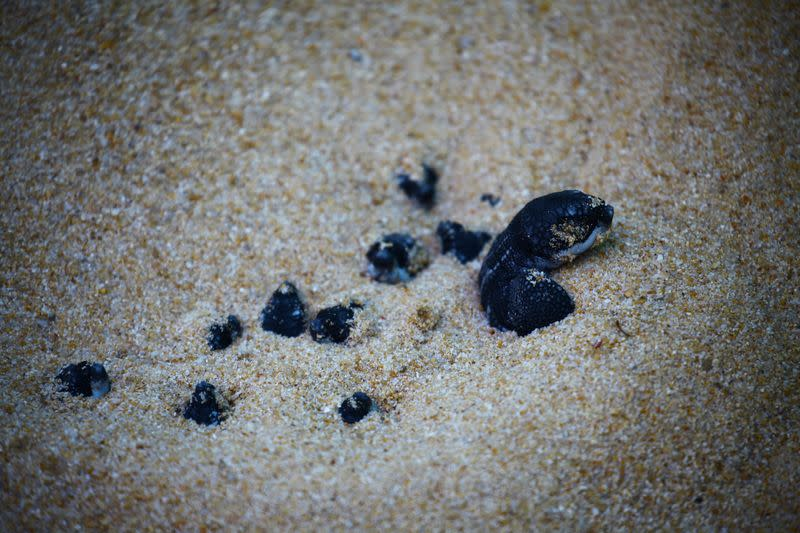 A newly-hatched baby leatherback sea turtle is seen before making its way into a sea for the first time at a beach in Phanga Nga district
