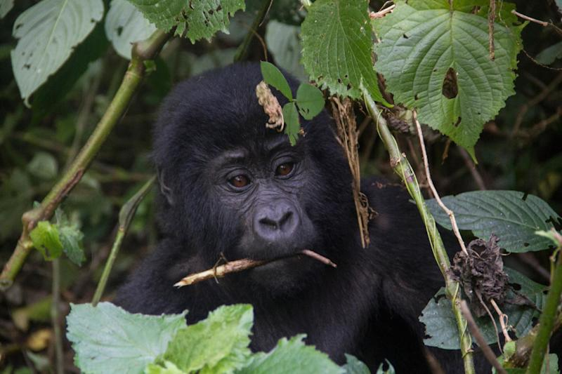 A baby moutain gorilla is seen during a gorilla trekking in Bwindi Impenetrable National Park, in Uganda, on May 24, 2014 (AFP Photo/Aimie Eliot)