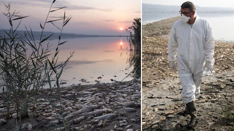 Dead fish lie on the shore of Koroneia Lake in northern Greece while an expert inspects the environmental disaster.