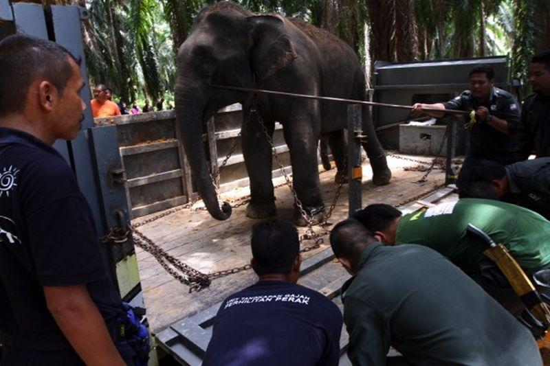Perak Wildlife Department staff loading an elephant onto a truck for relocation at the Royal Belum Forest Reserve. ― Malay Mail pic