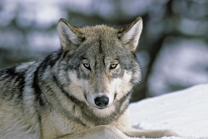 A close up portrait of a Wild Wolf laying down.