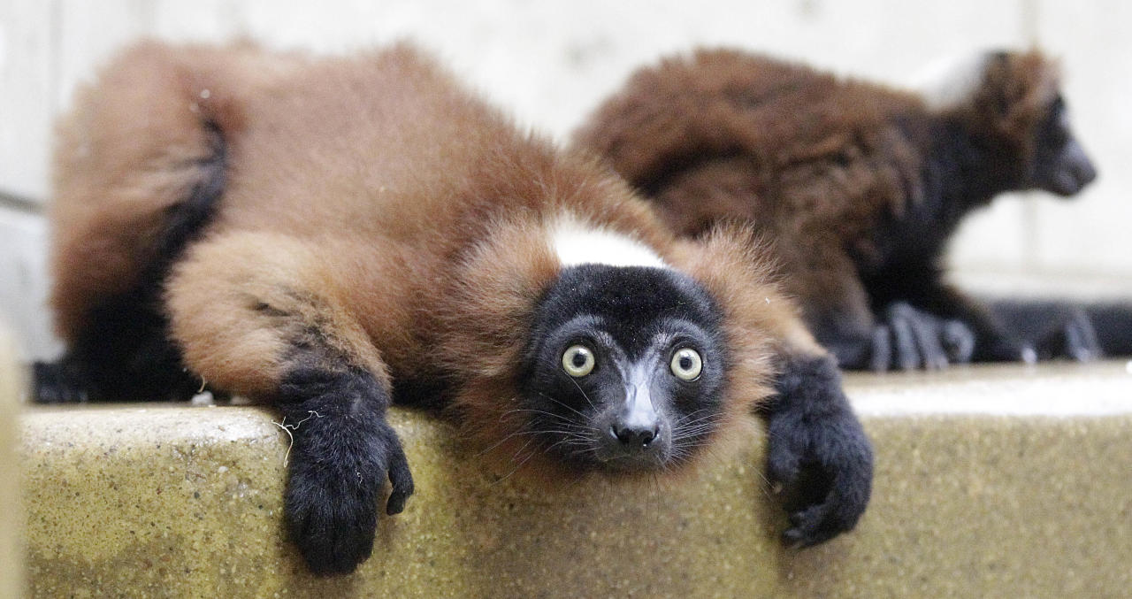 A newborn red vari lemur with his mother at the Zoo in Wuppertal, Germany, Thursday, July 12, 2012. The lemurs originate from Madagascar and its the first time babies have been born. (AP Photo/Frank Augstein)