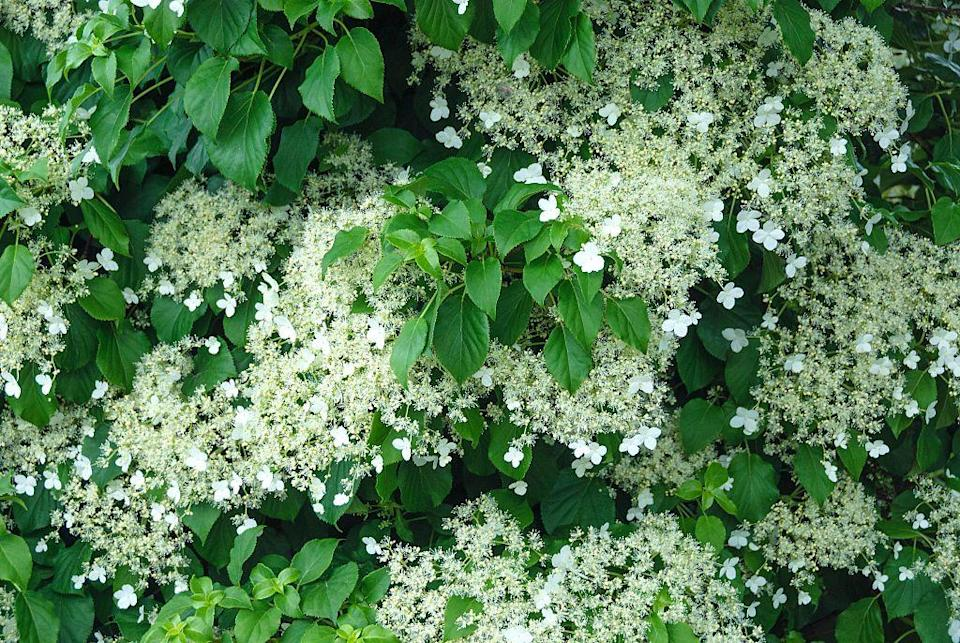 <p>Could there possibly be a more elegant way to soften an exterior wall or structure than with these delicate flowers? Climbing hydrangea, a deciduous vine that attaches to structures naturally, can be grown to climb fences, arbors, walls; it can also be used as a charming ground cover.</p><p><strong>When it blooms: </strong>Late spring through early summer</p><p><strong>Where to plant:</strong> Partial shade</p><p><strong>USDA Hardiness Zones:</strong> 4-7</p>