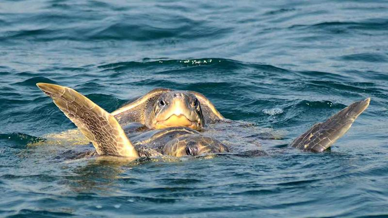 A pair of endangered Olive Ridley turtles mate in the waters of The Bay of Bengal off the mouth of the Rushikulya River in Ganjam District, some 140kms south of the eastern Indian city Bhubaneswar on 18 December, 2016. Image: Getty
