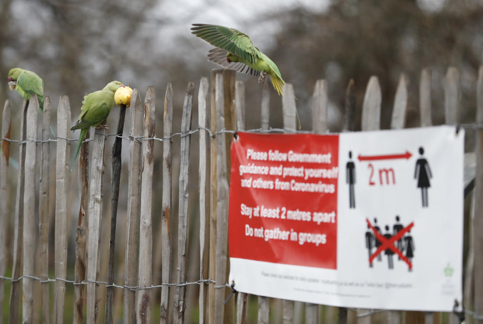Rose-ringed parakeet squabble over an apple left on wooden railing next to a sign urging social distancing due to the coronavirus pandemic in Kensington Gardens, London, Thursday, Jan. 21, 2021. The parakeets are a feral non native species thought to originate from escaped pets. There are thought to be over 30,000 parakeets in the wild in Britain. (AP Photo/Alastair Grant)