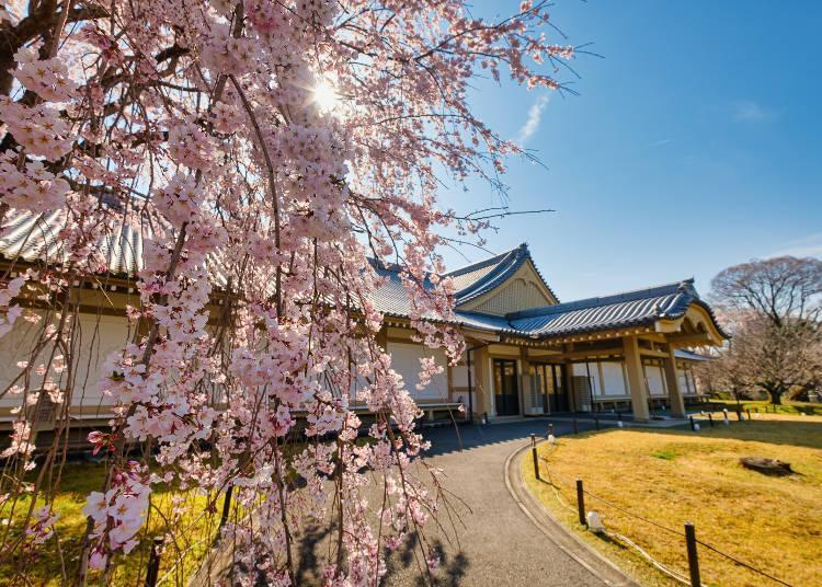 """The long-blooming """"Daigo of Flowers"""" variety loved by Toyotomi Hideyoshi"""
