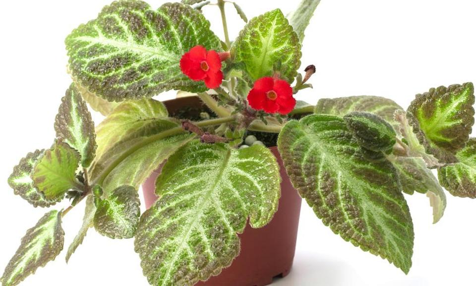 Red Episcia flower isolated on a white background. Red flower and green leaves.