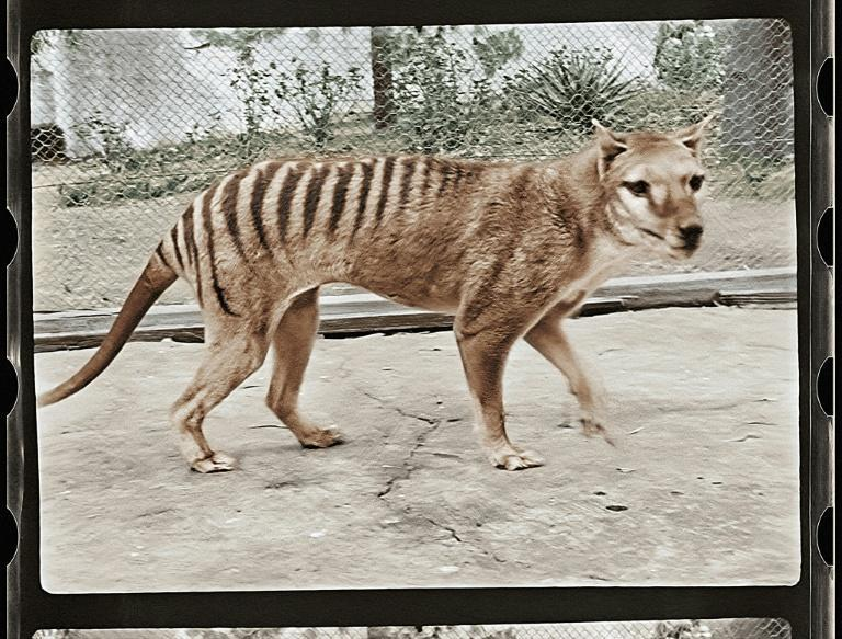 The Tasmanian tiger roamed in Australia and on the island of New Guinea before dying out about 85 years ago (AFP/Handout)