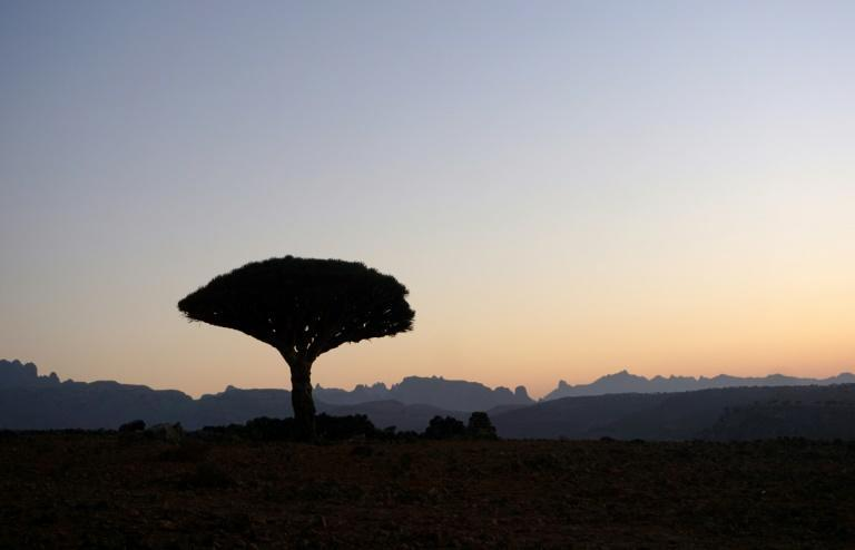 A Dragon's Blood Tree is silhouetted at dawn on the Diksam Plateau in the centre of the Yemeni island of Socotra