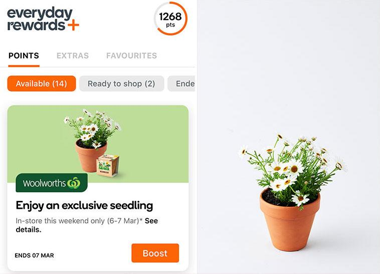 Woolworths Everyday Rewards members will be able to claim on Shasta Daisy seedling this weekend. Source: Supplied/Woolworths
