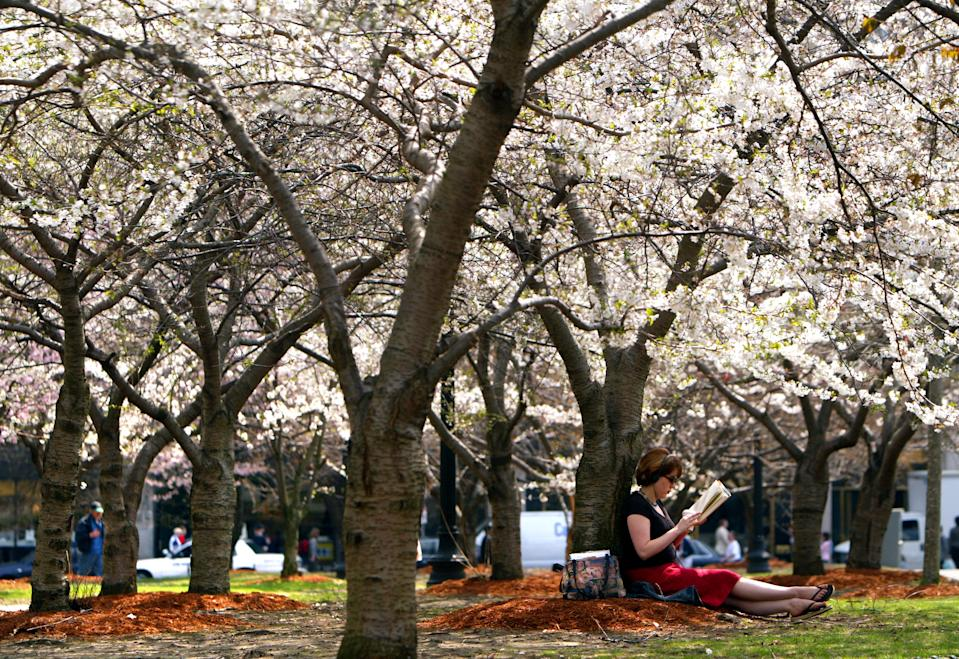 BOSTON - APRIL 22: Under a canopy of white flowering cherry trees, Emerson College student Martha Smith from Boston finds a peaceful retreat on the Boston Common side of Tremont Street to read a book between classes on a warm day. (Photo by John Tlumacki/The Boston Globe via Getty Images)