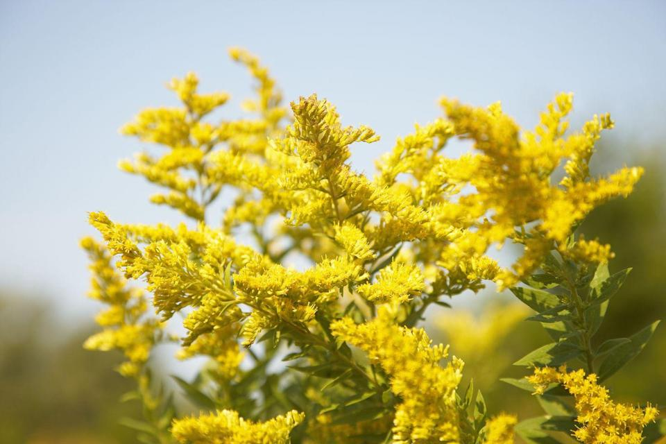"""<p>Often confused with the allergy-inducing ragweed, goldenrod is actually believed to have many health benefits, including pain and inflammation reduction. Bees flock to its golden blooms.</p><p><a class=""""link rapid-noclick-resp"""" href=""""https://www.highcountrygardens.com/perennial-plants/solidago/solidago-sphacelata-golden-fleece"""" rel=""""nofollow noopener"""" target=""""_blank"""" data-ylk=""""slk:SHOP NOW"""">SHOP NOW</a></p>"""