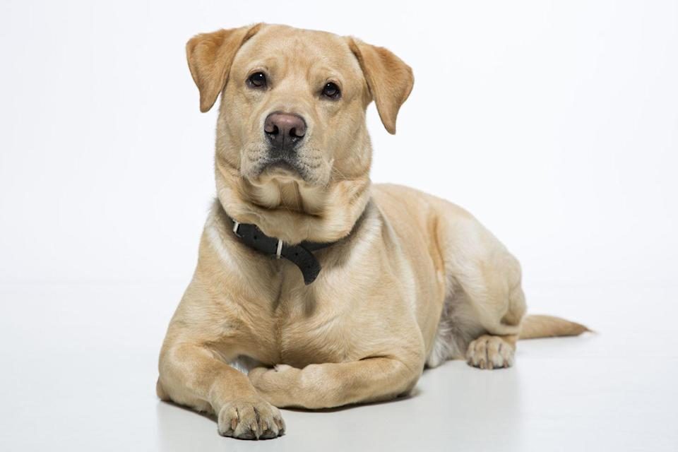 """<p>Notoriously food-obsessed Labrador Retrievers have an insatiable appetite for a reason: according to New Scientist, a <a href=""""https://www.newscientist.com/article/2086840-why-are-so-many-labradors-fat"""" rel=""""nofollow noopener"""" target=""""_blank"""" data-ylk=""""slk:genetic mutation causes many Labs to rarely feel full"""" class=""""link rapid-noclick-resp"""">genetic mutation causes many Labs to rarely feel full</a> after meals. As a result, overeating can cause these pooches to pack on the pounds. In fact, a 2012 study conducted by Pet Obesity Prevention found that <a href=""""https://petobesityprevention.org/2007-2013"""" rel=""""nofollow noopener"""" target=""""_blank"""" data-ylk=""""slk:nearly 60% of Labs surveyed were overweight"""" class=""""link rapid-noclick-resp"""">nearly 60% of Labs surveyed were overweight</a>. </p>"""