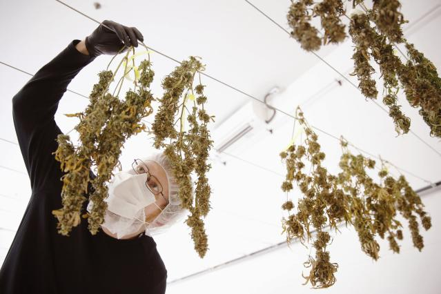 Director of Quality Assurance Thomas Shipley inspects drying marijuana plants before they are processed for shipping at Tweed Marijuana Inc in Smith's Falls, Ontario. (Reuters)