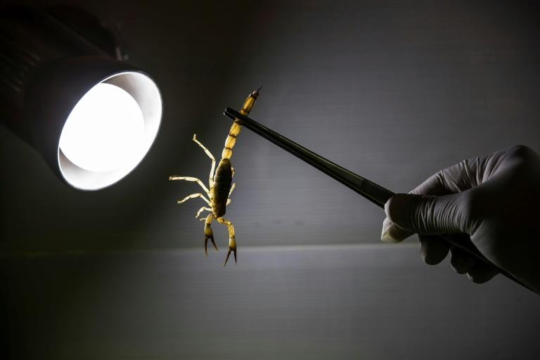 The creatures are caught in urban areas and venom extracted to meet demand from biomedical researchers