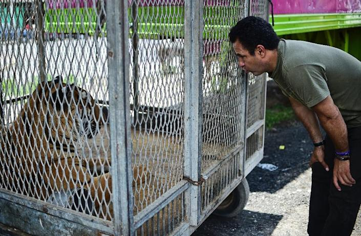 Armando Cedeno, owner of the Hermanos Cedeno circus, looks into a cage with a tiger in Chimalhuacan, Mexico, on July 7, 2015 (AFP Photo/Ronaldo Schemidt)