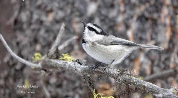 The mountain chickadee has a longer bill and a distinctive white eyebrow.
