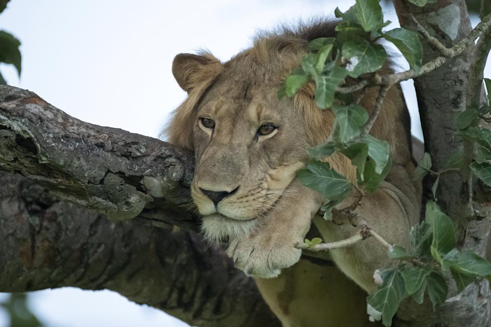 "Normally if a cat got stuck up a tree you'd call the fire brigade but you might think twice with these lions, perched precariously on the branches whilst they have an afternoon nap. See National News story NNlions. One male is even draped across two branches, with his legs and tail dangling down, whilst in another the two females wedge themselves almost upright before dozing. The pics were taken by wildlife snapper Vince Burton in the Queen Elizabeth National Park in Uganda. Vince Burton, 46 from North Tuddenham in Norfolk, said: ""Lions are not known for their tree climbing abilities, unlike other big cats such as leopards."