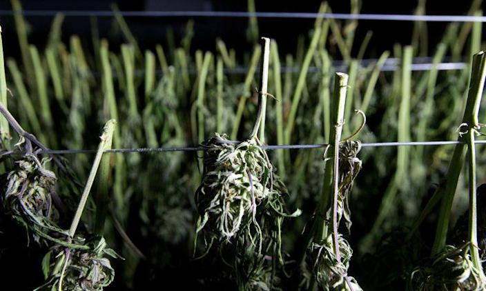 Recently harvested marijuana buds dry at Laura Costa's farm near Garberville, Calif., on Oct. 12, 2016. (AP Photo/Rich Pedroncelli)