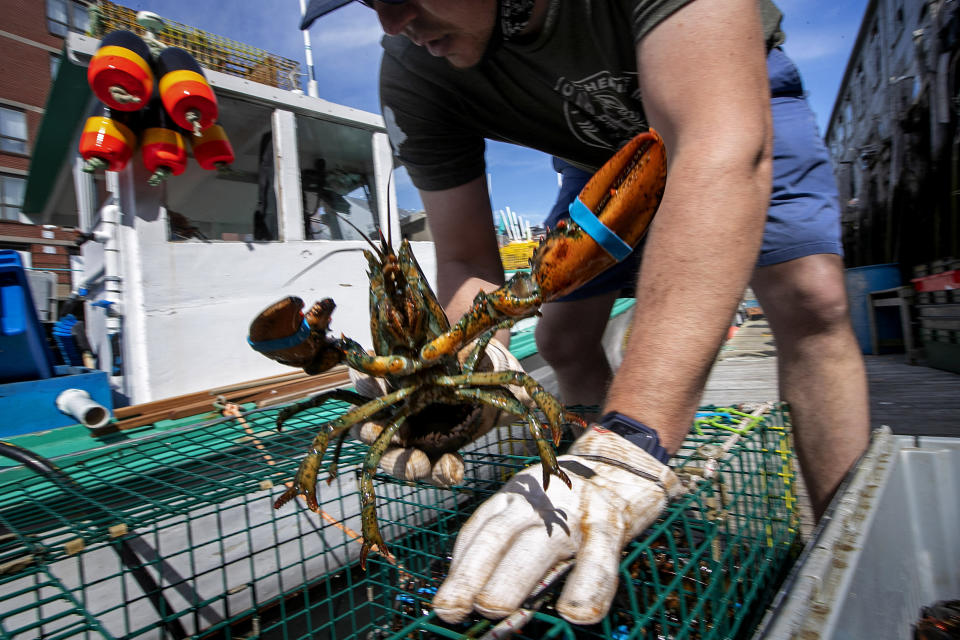 FILE- In this May 29, 2020 file photo, Eric Pray unpacks a lobster on a wharf in Portland, Maine. The Maine Department of Marine Resources said Wednesday, March 24, 2021, fishermen caught more than 96 million pounds of lobsters in 2020. (AP Photo/Robert F. Bukaty, File)