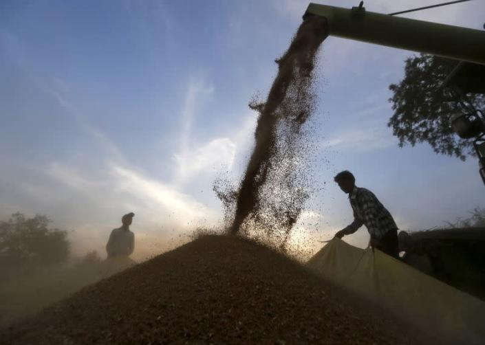 FILE PHOTO: A harvester is used to deposit wheat crop on a tarpaulin in a field on the outskirts of Ahmedabad