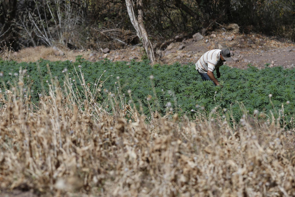 A farmer works in a marijuana field surrounded by a poppy field that was sprayed dry months ago by an army helicopter in the mountains surrounding Badiraguato, Sinaloa state, Mexico, Wednesday, April 7, 2021. As the government moves to legalize marijuana, farmers in Sinaloa's mountains are focusing on higher-quality strains that still fetch a higher price or continue to grow marijuana and opium poppy, hoping at least one of the crops will keep them afloat, while some have stopped growing it all together. (AP Photo/Eduardo Verdugo)