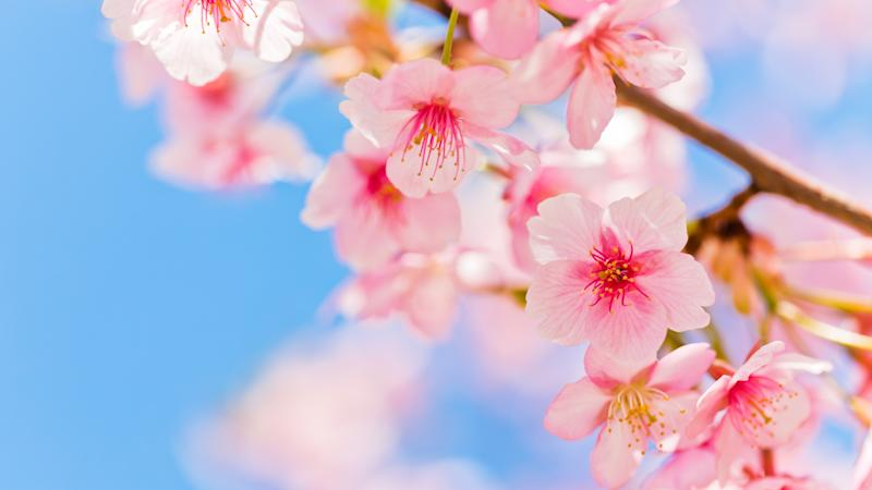 Pink Cherry Blossom Against Clear Blue Sky.