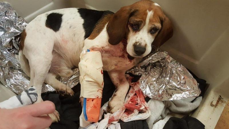 A beagle that police say was tossed onto a New York highway is seen recovering at the Broome County Humane Society. (The Broome County Humane Society)