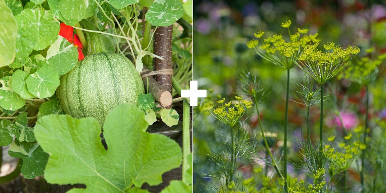 "<p>These are all vegetables that require pollinators to produce, so invite insect visitors into your garden by planting flowering herbs such as dill, fennel and parsley near melons and squash. ""You won't get any yield if you don't have pollination for these veggies,"" says Maloney.</p>"