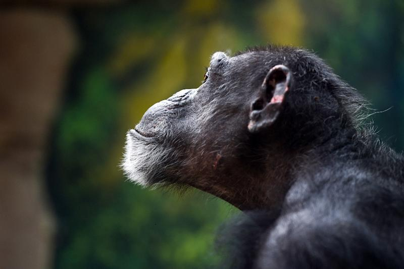 The last common ancestor of humans and chimpanzees lived about seven million years ago (AFP Photo/GUILLAUME SOUVANT)